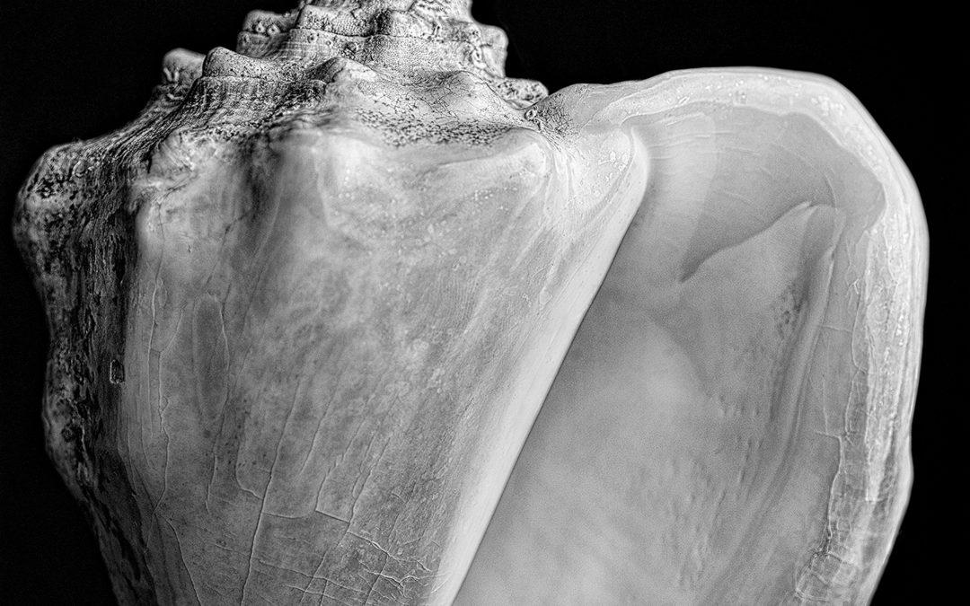 Lifeforms XLVII. Strombus costatus